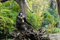 Affe-Mandrill sitzt auf einem Baum Stockfotos