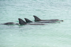 Affe mia Delphine nahe dem Ufer Lizenzfreies Stockbild