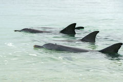 Affe mia Delphine nahe dem Ufer Lizenzfreies Stockfoto