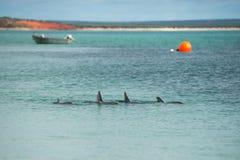 Affe mia Delphine nahe dem Ufer Stockbild