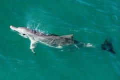 Affe mia Delphine nahe dem Ufer Stockbilder