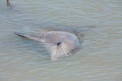 Affe Mia, Haifisch-Bucht, West-Australien Stockfotografie