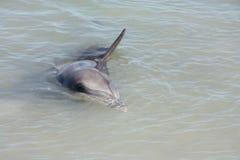 Affe Mia, Haifisch-Bucht, West-Australien Stockbild