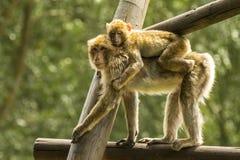 Affe mit Baby Stockbilder