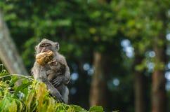 Affe mit Baby- und Zufuhrherein Tempel Lizenzfreies Stockfoto
