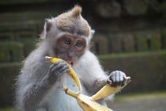 Affe mit Banane, Ubud, Indonesien Lizenzfreies Stockbild