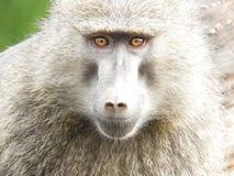 Affe mit braunen Augen schließen oben Stockbild