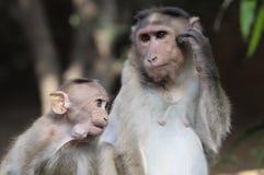 Affe mit Cheekpouch Lizenzfreie Stockbilder