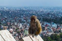 Affe mit dem Hintergrund von Kathmandu am Affe-Tempel Swayambhunath Lizenzfreies Stockbild
