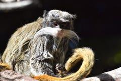 Affe mit dem Schnurrbart, der auf einer Niederlassung sitzt Stockbild