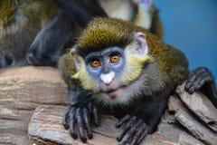 Affe mit den großen Augen Lizenzfreie Stockbilder