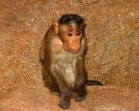 Affe mit den großen Ohren Stockfoto