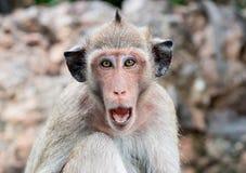 Affe mit den schwarzen Ohren Lizenzfreies Stockfoto