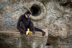 Affe mit den sehr langen Händen, die auf dem Felsen und dem Essen frisch sitzen Stockfotos