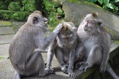 Affe mit drei Affen, der das Verkratzen spielt Stockbilder