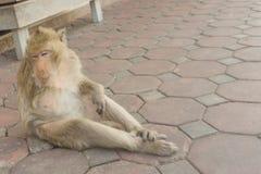 Affe mit einem Arm Thailand Stockbild