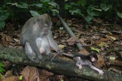 Affe mit einem Jungen Lizenzfreie Stockbilder