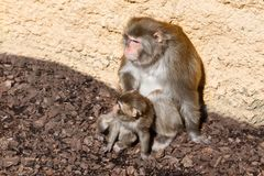 Affe mit einem Jungen Lizenzfreies Stockfoto