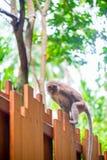 Affe mit einem langen Schwanz auf einem Bretterzaun Lizenzfreies Stockbild