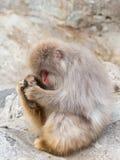 Affe mit einem roten Gesicht Lizenzfreie Stockbilder