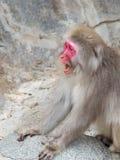 Affe mit einem Schreien des roten Gesichtes Lizenzfreies Stockfoto