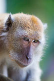 Affe mit einem traurigen Gesicht Lizenzfreie Stockbilder