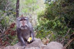 Affe mit einer Mahlzeit Lizenzfreie Stockbilder