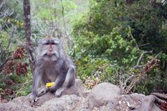 Affe mit einer Mahlzeit Lizenzfreies Stockbild