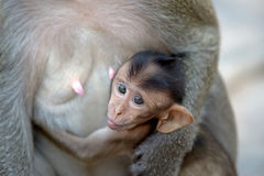 Affe mit Familie Lizenzfreie Stockbilder
