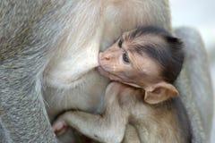 Affe mit Familie Stockbild