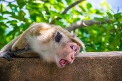 Affe mit Gähnen in Sigiriya, Sri Lanka Stockbilder