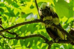 Affe mit grünem Hintergrund Stockbild