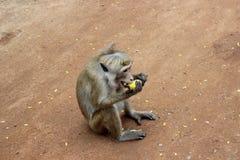 Affe mit großen Reißzähnen eine Banane essend Lizenzfreies Stockfoto