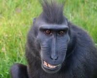 Affe mit Haube Stockfotografie