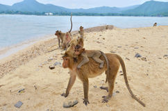 Affe mit Jungem auf dem Strand Stockbilder