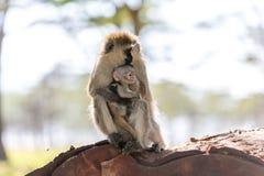 Affe mit Jungem Kenia Stockfotografie