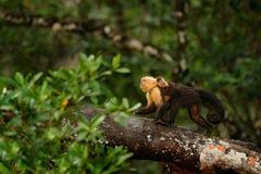 Affe mit Jungen Schwarzer Affe, der auf den Baumast im dunkler tropischer Waldaffe Weiß-köpfigen Capuchin, Cebus-capucinu geht Lizenzfreies Stockbild