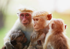 Affe mit Kindern Sri Lanka Stockbilder