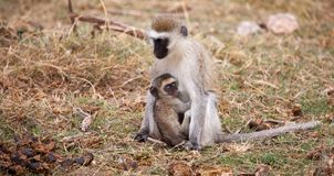 Affe mit kleinem sitzt, auf Safari Lizenzfreies Stockfoto