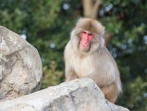 Affe mit klugen Augen Lizenzfreie Stockfotos
