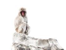 Affe mit klugen ruhigen Augen Lizenzfreie Stockbilder