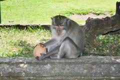 Affe mit Kokosnuss im Park Stockfotografie