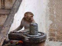 Affe mit Linga in der heiligen Stadt von Varanasi in Indien Lizenzfreies Stockbild