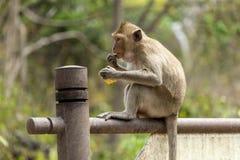 Affe mit Maiskolben Stockbild