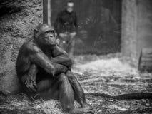 Affe mit Mann im Hintergrund Lizenzfreies Stockfoto
