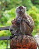 Affe mit neugeborenem Lizenzfreie Stockfotografie