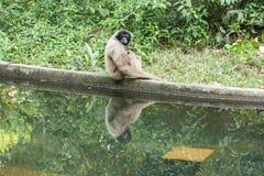 Affe mit Reflexion selbst Lizenzfreie Stockfotos