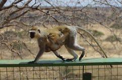 Affe mit seinem Baby in Afrika Stockfoto