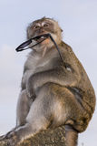 Affe mit Sonnenbrille Stockbild