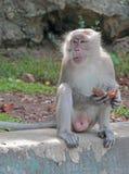 Affe mit Stück der Kokosnuss Lizenzfreies Stockfoto